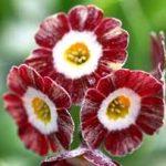 Gartenaurikel - Auricula Blush baby