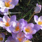 Crocus sativus Safrankrokus