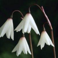 Leucojum autumnale / Herbstknotenblume