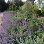 Nepeta Fassenii Walkers Low