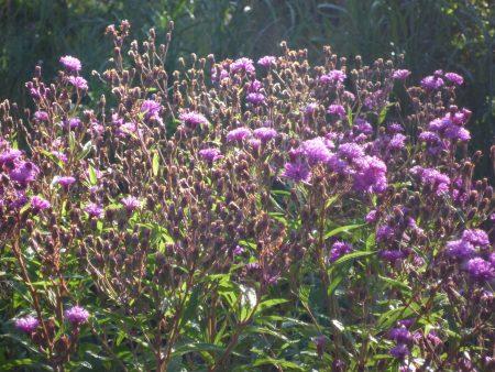 Arkansas Scheinaster Vernonia crinita