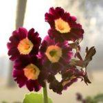 Gartenaurikel - Primula Auricula
