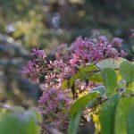 Heptacodium Miconioides © Isabelle van Groeningen