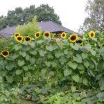 Kürbis mit Sonnenblumen © Isabelle van Groeningen