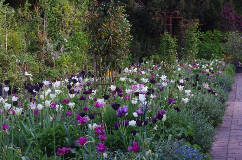 Frühjahrszwiebeln - Ende der Saison © 2016 für alle Fotos dieses Beitrags: Isabelle van Groeningen