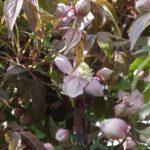 Clematis montana 'Fragrant