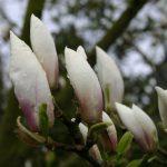 Magnolia soul. 'Brozzonii' © Isabelle van Groeningen