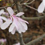 Magnolia Leonard messel © Isabelle van Groeningen