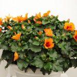 Hibiscus rosa-sinensis 'Petit Orange' © Isabelle van Groeningen