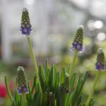 Muscari armeniacum 'Touch of Snow' © Isabelle van Groeningen