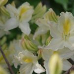 Rhododendron luteum 'Daviesii' © Isabelle van Groeningen