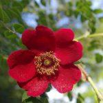 Rosa moyesii © Isabelle van Groeningen