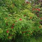 Rosa moyesii Geranium © Isabelle van Groeningen
