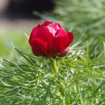 Paeonia tenuifolia © Isabelle van Groeningen