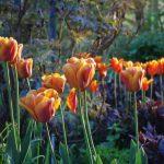 Tulpen © Isabelle van Groeningen