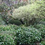 Hedera helix 'Arborescens' © Isabelle van Groeningen