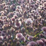 Vernonia crinita seed © Isabelle van Groen