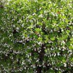 enkianthus perulatus Blüte © Isabelle van Groeningen