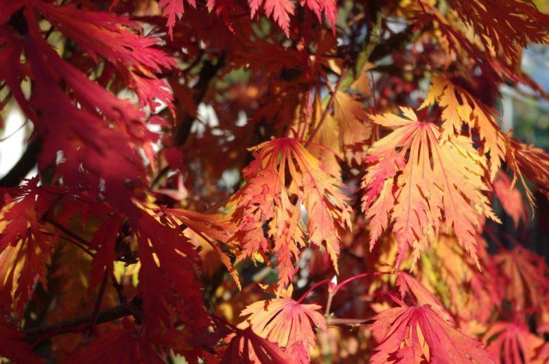 Acer aconitifolium im Herbst © Isabelle van Groeningen