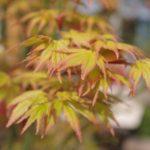 Acer palmatum 'Orange Dream' © Isabelle van Groeningen