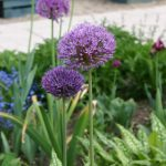 Allium aflatunense © Isabelle van Groeningen