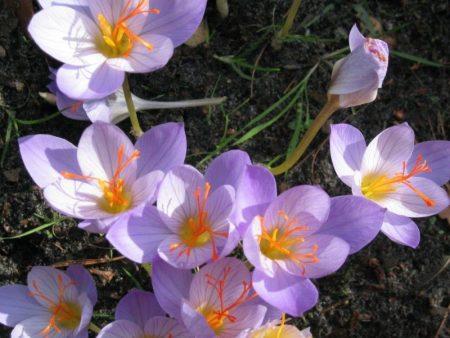 Crocus sativus © Isabelle van Groeningen
