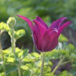 Tulipa Burgundy © Isabelle van Groeningen