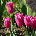 Tulipa China Pink © Isabelle van Groeningen