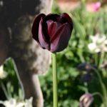 Tulipa Queen of the Night © Isabelle van Groeningen