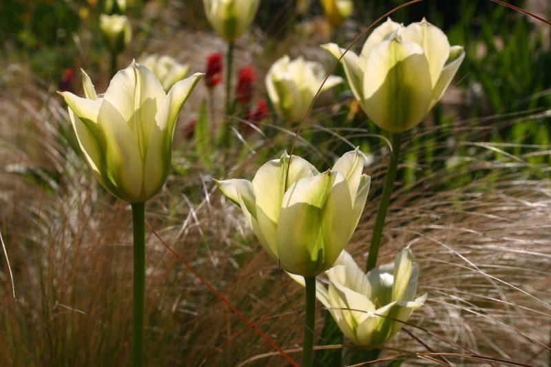 Tulipa Spring Green © Isabelle van Groeningen