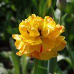 Tulipa 'Sun Lover' © Isabelle van Groeningen