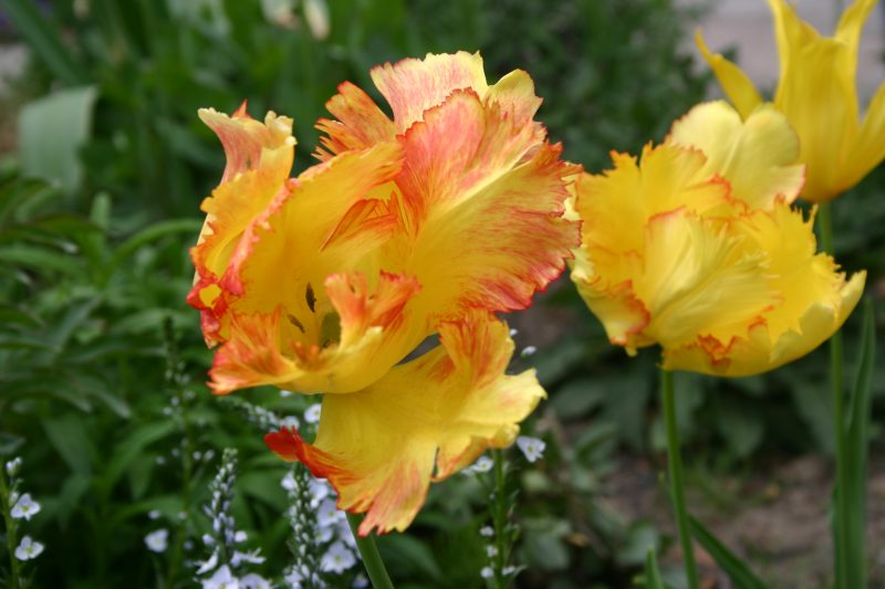 Tulipa Texas Gold © Isabelle van Groeningen