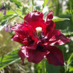 Tulipa 'Uncle tom' © Isabelle van Groeningen