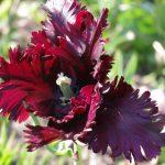 Tulipa 'black Parrot' © Isabelle van Groeningen