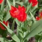 Tulipa praestans © Isabelle van Groeningen