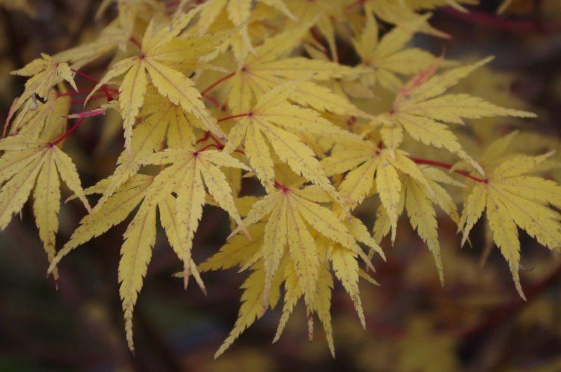 Acer palmatum 'Corallinum' © Isabelle van Groeningen
