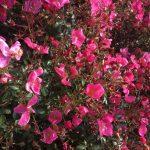 Floribunda Rose 'Fortuna' © Isabelle van Groeningen