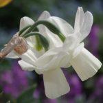Narzissen- Narcissus 'Curlew' © Isabelle van Groeningen