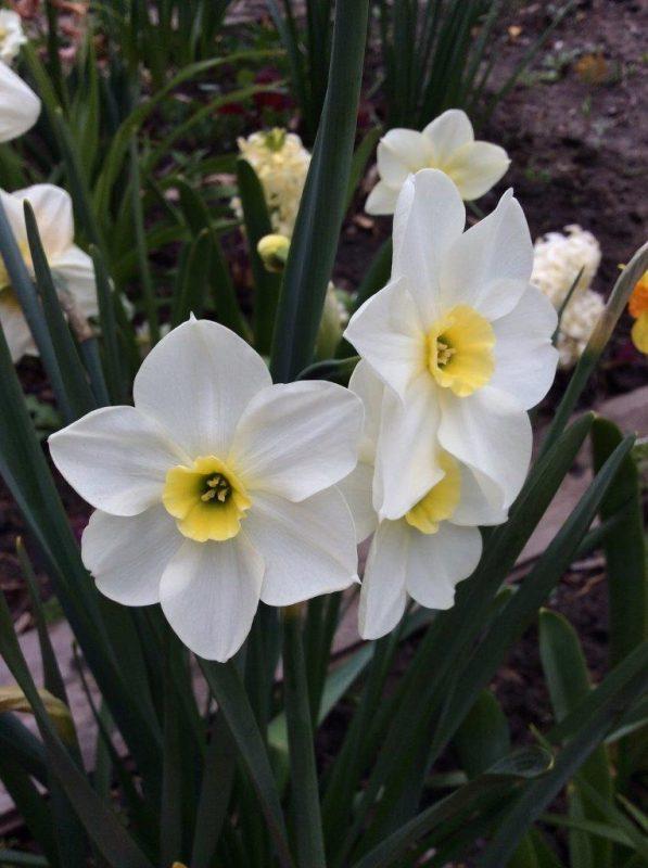 Narcissus 'Lieke' © Isabelle van Groeningen
