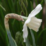 Narcissus 'Misty Glen' © Isabelle van Groeningen
