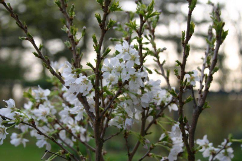 Gehölze im Kübel - Prunus 'Kojou-no-may' © Isabelle van Groeningen