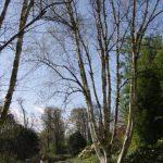 Betula ermanii var subcordata © Isabelle van Groeningen