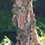 Betula nigra Rinde © Isabelle van Groeningen