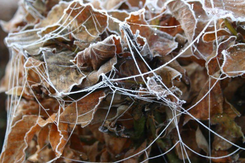 Fagus sylvatica frosted © Isabelle van Groeningen