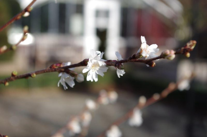 Hoffnung zur Wintersonnenwende - Prunus subhirtella 'Autumnalis' © Isabelle van Groeningen