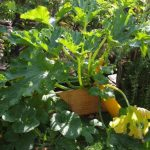 Gelbe Zucchini © Isabelle van Groeningen