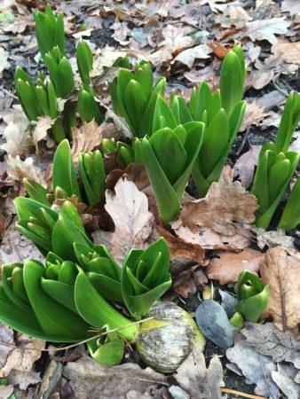 Allium 'Beau Regard' © Isabelle van Groeningen