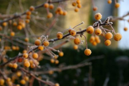 Malus transitoria fruit - Futter für Vögel © Isabelle van Groeningen