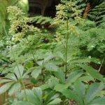 Rodgersia podophylla © Isabelle van Groeningen