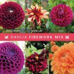 Dahlia Firework Mix © Königliche Gartenakademie
